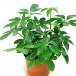 Những loại cây trồng giúp bạn ngăn chặn bệnh sốt xuất huyết